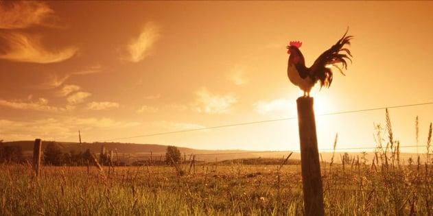 landscape-1482238791-rooster1